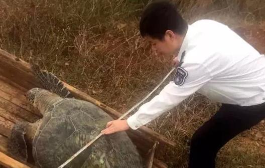 福清东瀚镇海边发现一只重70公斤的濒危绿海龟