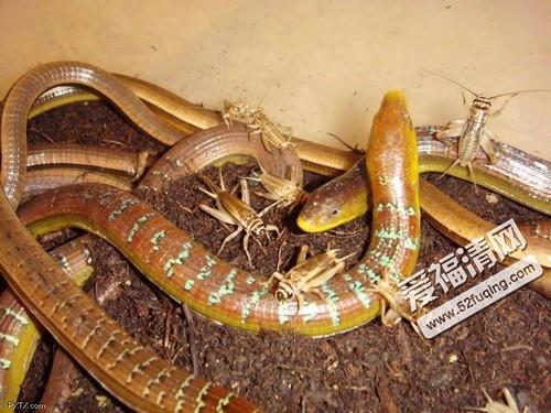 濒危动物白头蝰蛇现身 一口毒死一条大狗高清图片