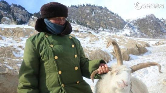 新疆昭苏发现四角羊